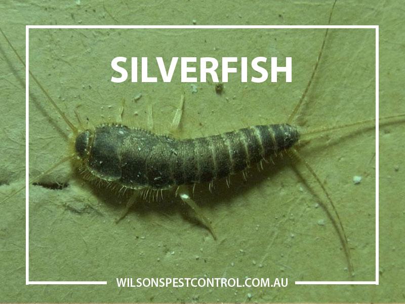 Silverfish Pest Control Wilson's Pest Control
