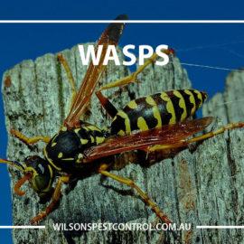 Pest Control Sydney Wasps