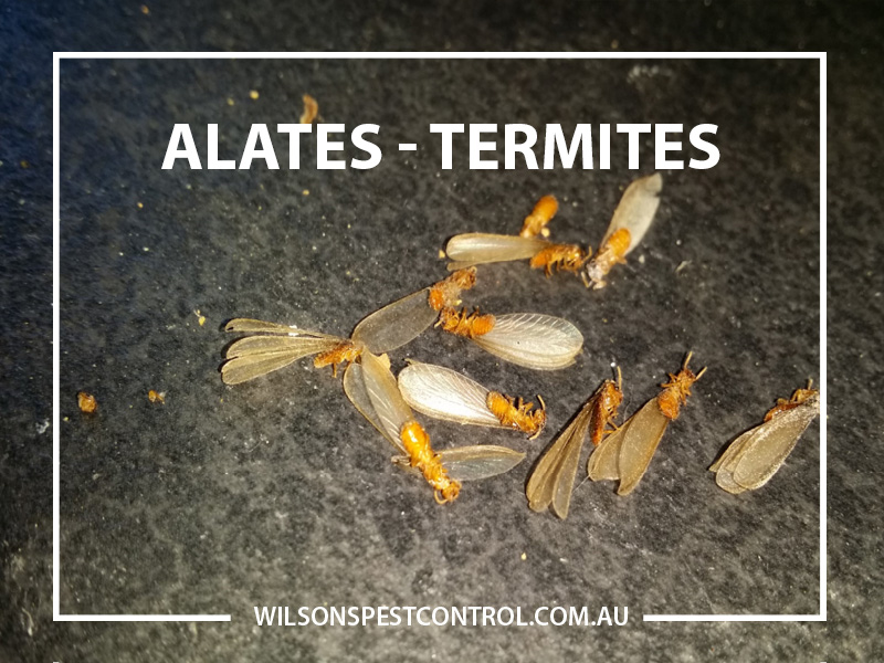 Termites Alate Swarm
