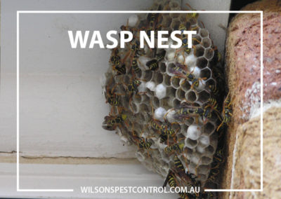 Pest Control BLACKTOWN - Nest Wasp