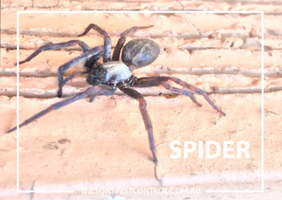 Pest Control BLACKTOWN - SPIDER