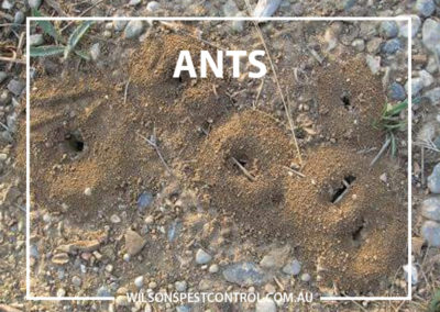 Pest Control Blacktown - Ant Tunnels