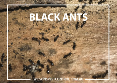 Pest Control Blacktown - Black Anoying Ants