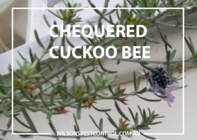 Pest Control Blacktown - Chequered Cuckoo Bee