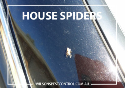 Pest Control Blacktown - Houe Spiders Young