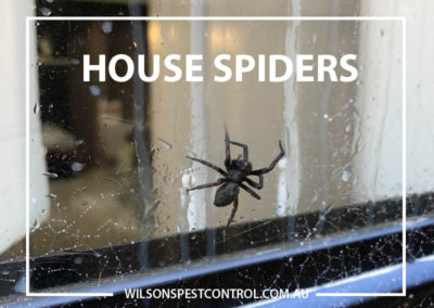Pest Control Blacktown - House Spiders