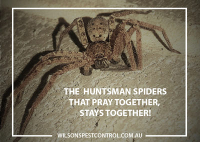 Pest Control Blacktown - Huntsman