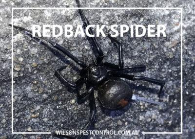 Pest Control Blacktown - Redback Spider