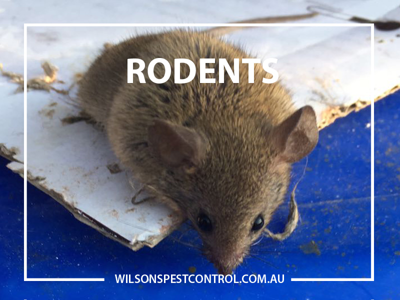 Rodents Mice And Rats Pest Control Sydney Castle Hill