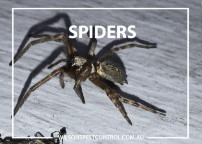 Pest Control Blacktown - Spiders