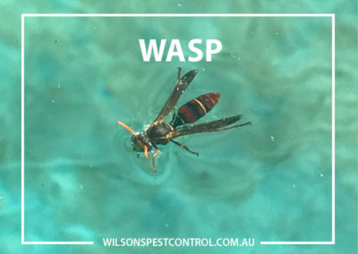 Pest Control Blacktown - Wasp