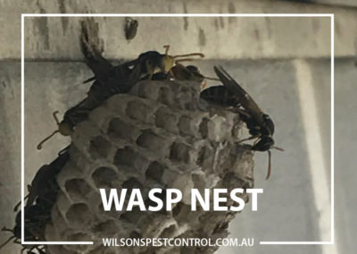 Pest Control Blacktown - Wasp Nest