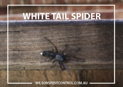 Pest Control Blacktown -White Tail