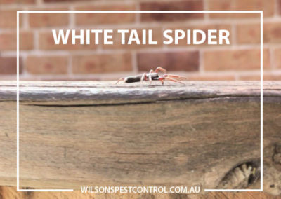 Pest Control Blacktown - White Tail Spider