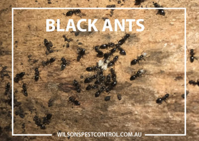 Pest Control Castle Hill - Ants Black