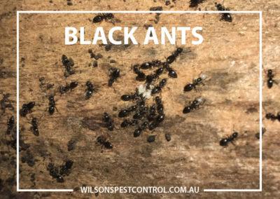 Pest Control Castle Hill - Ants Black