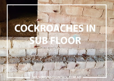 Pest Control Castle Hill - Cockroaches in Sub Floor