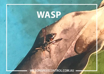 Pest Control - Castle Hill - Red Wasp