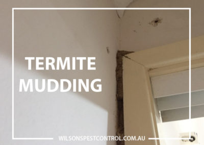Pest Control Castle Hill - Termite Mudding on Wall
