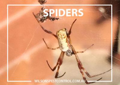 Pest Control Castle Hill - Webbing Spider