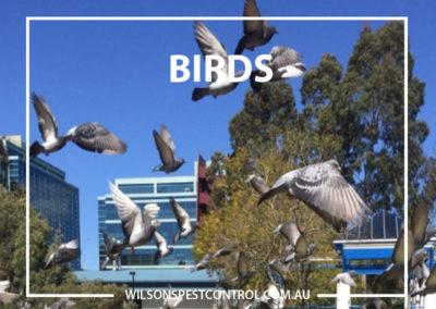 Pest Control Parramatta - Birds