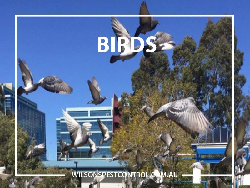 Bird Pest Control Blacktown, Holroyd, The Hills