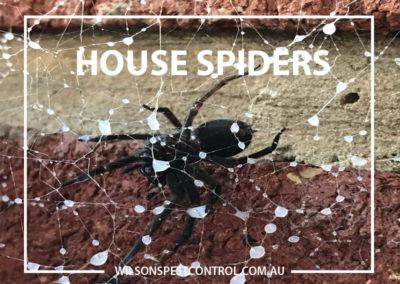 Pest Control Parramatta - Black Spider