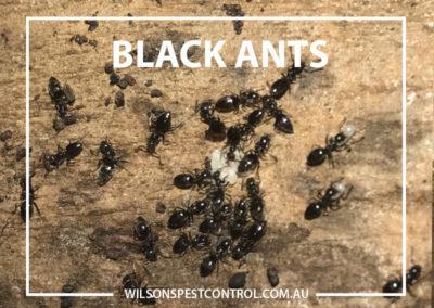 Pest Control Penrith - Black Ants