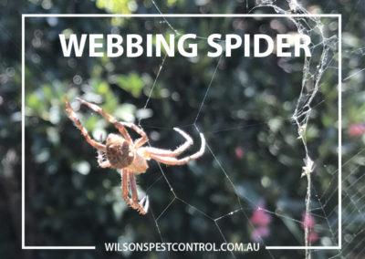 Pest Control Penrith - Webbing Spider