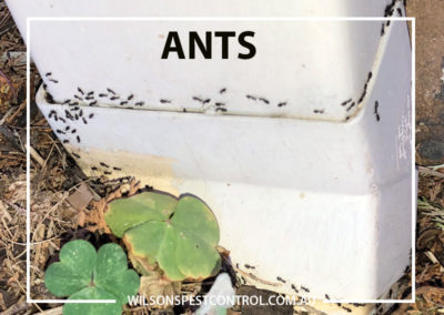 Pest Control Sydney - Ants Black