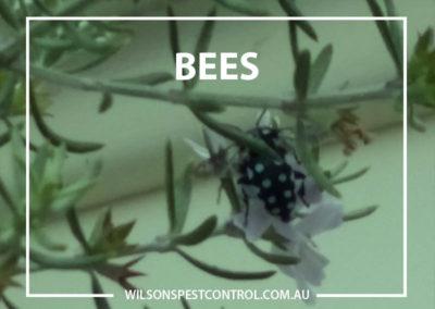 Pest Control Sydney - Bees Blue