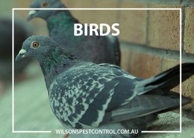 Pest Control Sydney - Birds