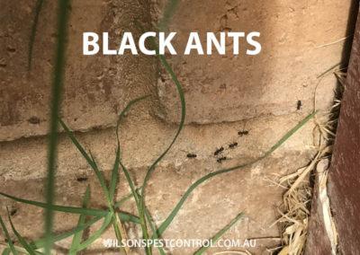 Pest Control Sydney - Black Ants Garden