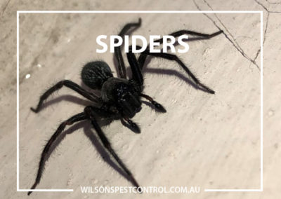 Pest Control Sydney - Black Hairy Spider