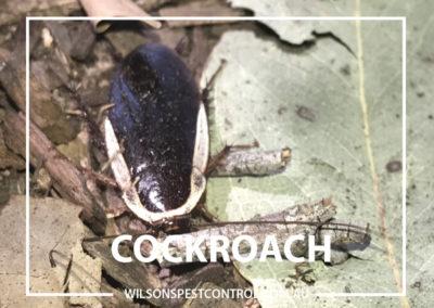 Pest Control Sydney - Garden Cockroach