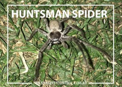 Pest Control Sydney - Huntsman Spider