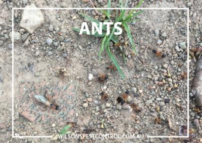 Pest Control Sydney - Large Ants