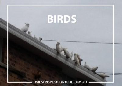 Pest Control Sydney - Parrots