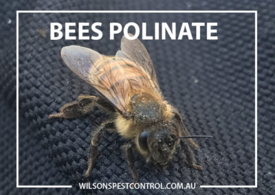 Pest Control Sydney - Polinating Bees