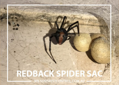 Pest Control Sydney - Red Back Sac