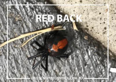 Pest Control Sydney - Redback