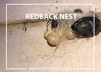 Pest Control Sydney - Redback Sac