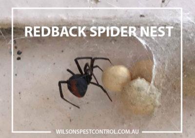 Pest Control Sydney - Redback Spider