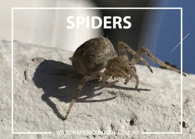Pest Control Sydney - SPIDER