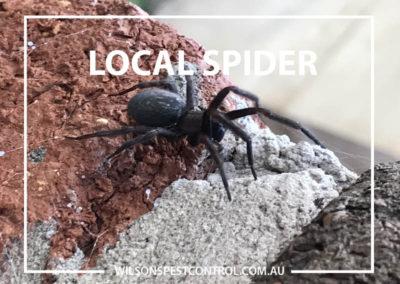 Pest Control Sydney -Spider Black
