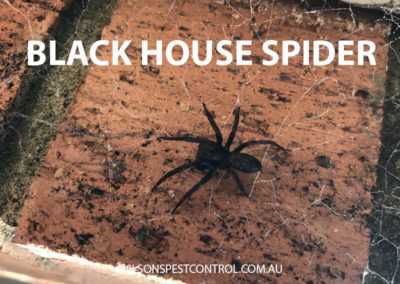 Pest Control Sydney - Spider House Black