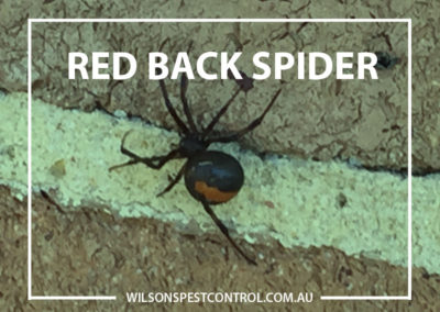 Pest Control Sydney - Spiders