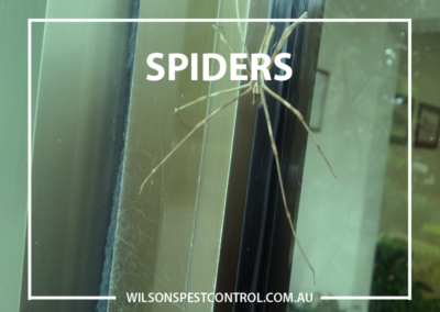 Pest Control Sydney - Spiders New