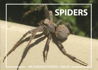 Pest Control Sydney - Spiders Pest