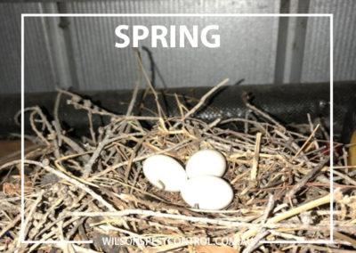Pest Control Sydney - Spring Dove Eggs